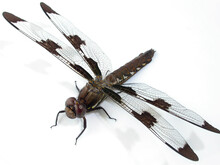 Dragonfly Head On White Background