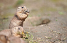 Black-tailed Prairie Dog (Cynomys Ludovicianus) Eating Grass Stalks, Closeup Detail, Another Blurred Animal In Foreground