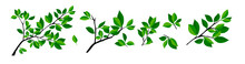 Summer Tree Branch With Fresh Green Leaves. Vector Illustration