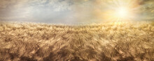 Wheat Field, Beautiful Golden Wheat Field And Sunset Sky, Agricultural Field At Dusk