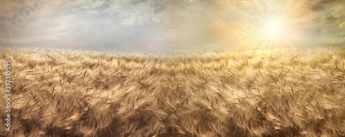Fototapeta Wheat field, beautiful golden wheat field and sunset sky, agricultural field at dusk obraz
