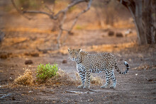 Leopard Out On Patrol