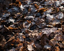 Pile Of Sun Kissed Wet Leaves On The Ground In Sweden