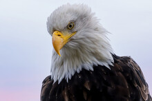 Large Bald Eagle Stares Down From High