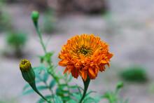 Selective Focus Of Yellow Orange Chrysanthemum Indicum Closeup