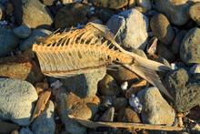 A Headless Fish Skeleton Lying On A Stony Beach