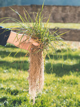 Hand Holding Grass Plant With Deep Root System Close To Lawn