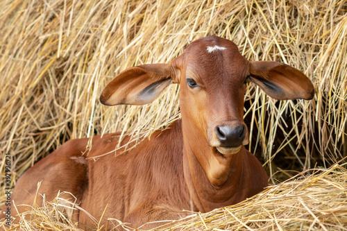 Foto Red brahman calf lying near Haystack