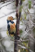 Wild Safari Animals - Crested Barbet
