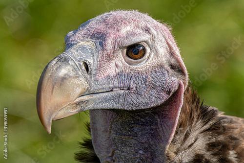 adult Griffon vulture gets a close up head shot Fototapeta