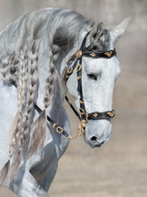 Andalusian Light Gray Horse With Long Mane.