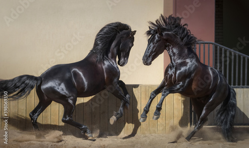 Fototapeta Two black Spanish horses playing together in paddock. obraz
