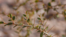 Tree Branch With Thorns And Leaves