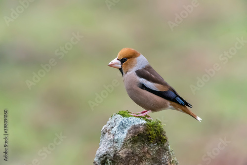 Fototapeta hawfinch perched on a stone