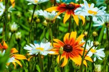 Whie Daisies And Black Eye Susan Flowers