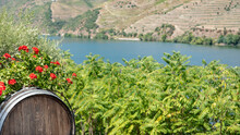 Wine Barrel On Land Planted With Vines In The Mountains With The River Douro