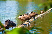 Canada Geese Sleep Staning On A Log