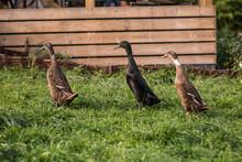 Three Ducks Walking In Line In The Grass..