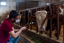 Young Farmer Using Mask Against Corona Virus. Agriculture Industry, Farming, People And Animal Husbandry Concept - Close Up Of Man Or Farmer Feeding Cow With Hay In Cowshed On Dairy Farm