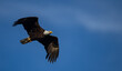 canvas print picture - Bald Eagle in Flight