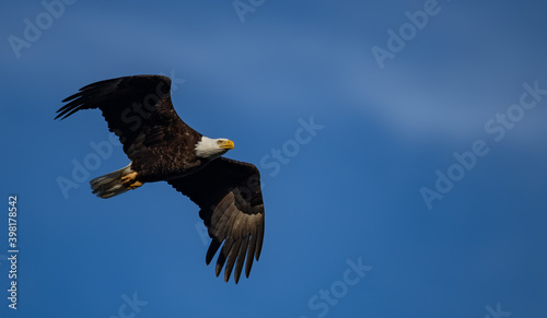 Fotografie, Tablou Bald Eagle in Flight