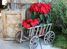 Cart With Poinsettia