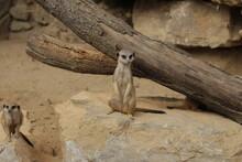 Meerkat Watching Out For Predators