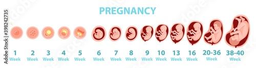 Obraz na plátne Human embryo genesis by weeks. Vector cartoon illustration.