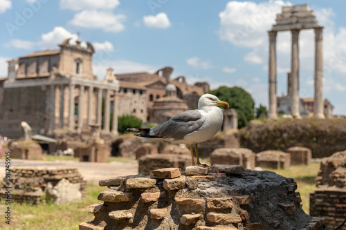 Fotografia Mediterranean gull seating on stones of Roman forum in Rome, Italy