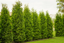 Western Thuja Emerald Green Hedge, Evergreen Trees Planted Abreast Make Dense Natural Wall. Landscape Design Concept