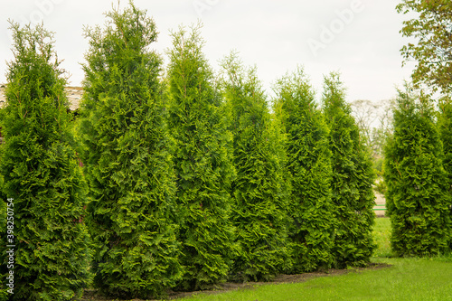 Photo Western thuja emerald green hedge, evergreen trees planted abreast make dense natural wall