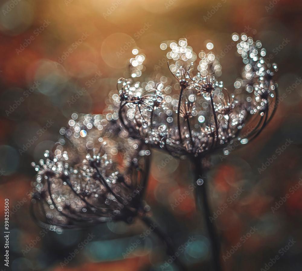 Fototapeta Kwiaty, rosa. poranek