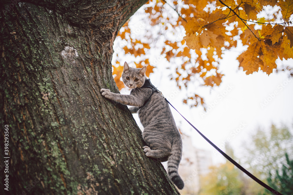 Fototapeta Male cat domestic gray wool stripes young good shape,dressed cat leash harness climbs a tree for hunting bird,attentive focused look and claws are visible, close-up on the outside bright daylight