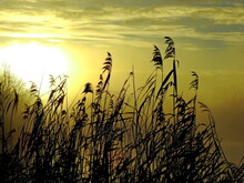 Sunrise And Water Reed On The Water's Edge