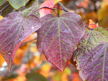 Attractive Variegated Leaves Of Forest Pansy, Cercis Canadensis, After A Rain Shower