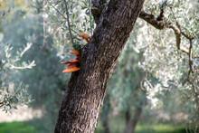 Omphalotus Olearius Mushroom, Olive Tree Bark Fungus