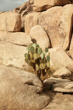 Cactus Between Rocks