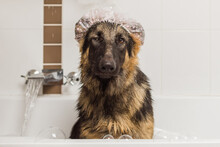 German Shepherd Dog In Bath