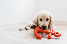 Puppy Playing With Chew Toy
