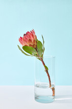Beautiful Protea Flower In A Glass.