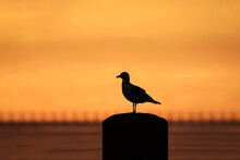 Silhouette Of A Gull Standing On A Post With Orange Sky At Dawn Or Sunset