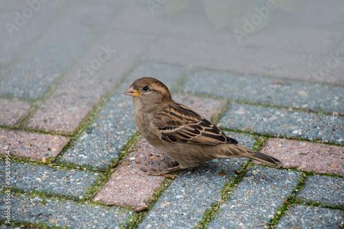 Photo House sparrow on the street