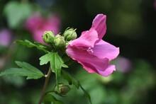 Purple Hollyhock Or Alcea Rosea Flower, In The Garden.