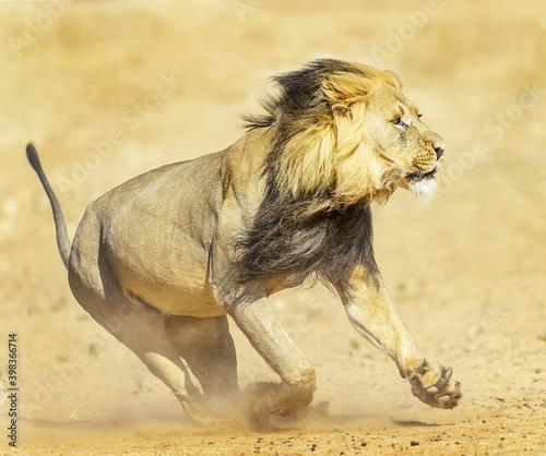 Canvas Print Closeup shot of a beautiful running lion