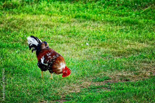 A beautiful rooster walks on a green lawn on a summer day Fototapeta