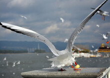 A Larus Ridibundus Take The Fodder And Open Its Wings Ready To Fly Away