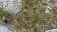 Invasive And Noxious Beachgrass Growing Between The Rock.