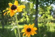 Yellow Black Eye Susan Flowers