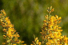 Selective Focus Shot Of Bright Yellow Gorse Flowers