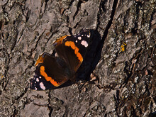 Close-up View Of Beautiful Butterfly Red Admiral (vanessa Atalanta) With Black Wings, Red Bands And White Spots Sitting On Bark Of Tree In The Morning Sun In Autumn In The Swabian Alb Mountains.